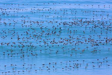 Guanay Cormorant (Phalacrocorax bougainvillii), San Fernando Reserve, Nazca Desert, Peru  -  Cyril Ruoso