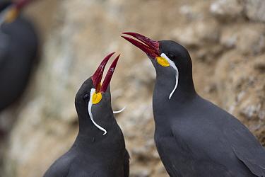 Inca Tern (Larosterna inca) pair in courtship display, Isla Pescadores, Peru  -  Cyril Ruoso