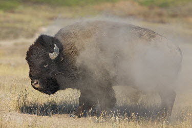 American Bison (Bison bison) adult shaking dust from coat after rolling, National Bison Range, Moise, Montana  -  Donald M. Jones