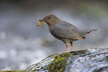 American Dipper (Cinclus mexicanus) with caddis fly prey, Troy, Montana  -  Donald M. Jones