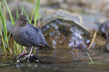 American Dipper (Cinclus mexicanus), O'Brian creek, Montana  -  Donald M. Jones