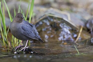 American Dipper (Cinclus mexicanus), O'Brian creek, Montana  -  Donald M. Jones