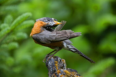 American Robin (Turdus migratorius) male preening, Troy, Montana  -  Donald M. Jones