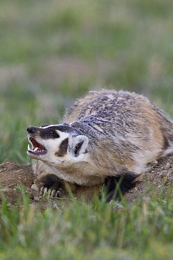 American Badger (Taxidea taxus) baring its teeth at den entrance, Montana  -  Donald M. Jones