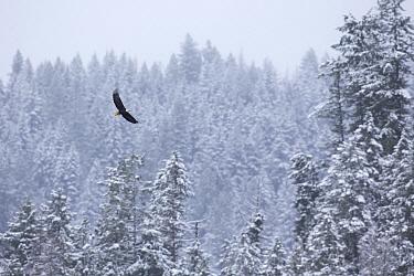 Bald Eagle (Haliaeetus leucocephalus) flying, Kootenai National Forest, Montana  -  Donald M. Jones