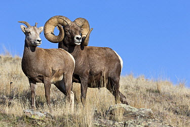 Bighorn Sheep (Ovis canadensis) ram and ewe during rut, Montana  -  Donald M. Jones