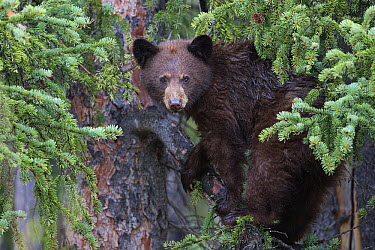 Black Bear (Ursus americanus) yearling cub in Spruce (Picea sp) tree, Canada  -  Donald M. Jones