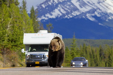 Brown Bear (Ursus arctos) walking down highway in front of cars, Bow Parkway, Jasper National Park, Alberta, Canada  -  Donald M. Jones