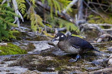 Harlequin Duck (Histrionicus histrionicus) radio-collared female eating a sculpin fish, McDonald Creek, Glacier National Park, Montana  -  Donald M. Jones