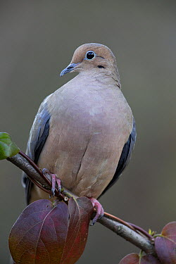 Mourning Dove (Zenaida macroura), Columbus Ohio  -  Donald M. Jones