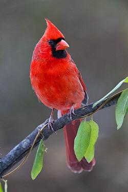 Northern Cardinal (Cardinalis cardinalis) male, Columbus, Ohio  -  Donald M. Jones
