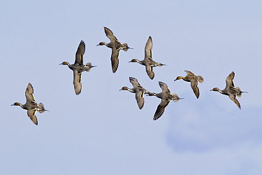 Northern Pintail (Anas acuta) flock flying, North America  -  Donald M. Jones