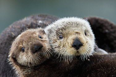 Sea Otter (Enhydra lutris) mother and pup, Prince William Sound, Alaska  -  Donald M. Jones