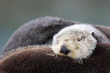 Sea Otter (Enhydra lutris) sleeping, Prince William Sound, Alaska  -  Donald M. Jones