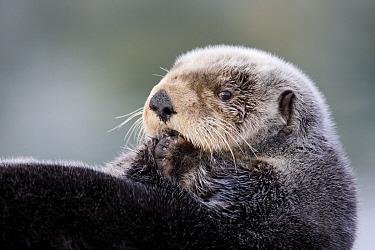 Sea Otter (Enhydra lutris), Prince William Sound, Alaska  -  Donald M. Jones