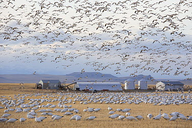 Snow Goose (Chen caerulescens) flock flying and feeding in Two-rowed Barley (Hordeum vulgare) field, Montana  -  Donald M. Jones