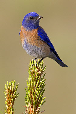 Western Bluebird (Sialia mexicana) male in Ponderosa Pine (Pinus ponderosa), Montana  -  Donald M. Jones