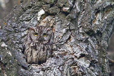Western Screech Owl (Megascops kennicottii) in Cottonwood (Populus sp) tree cavity, Montana  -  Donald M. Jones