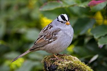White-crowned Sparrow (Zonotrichia leucophrys), Montana  -  Donald M. Jones
