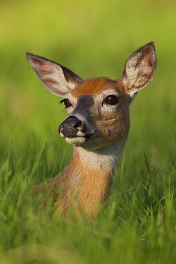 White-tailed Deer (Odocoileus virginianus) doe portrait, Montana  -  Donald M. Jones
