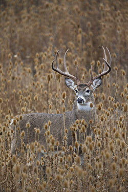 White-tailed Deer (Odocoileus virginianus) buck amid teasel patch, Montana  -  Donald M. Jones