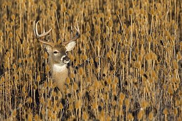 White-tailed Deer (Odocoileus virginianus) buck in teasel patch, Montana  -  Donald M. Jones