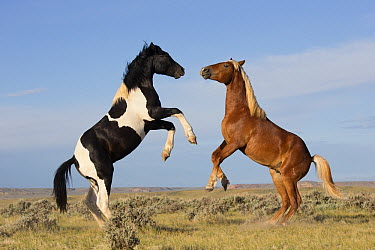 Wild Horse (Equus caballus) fighting stallions, Wyoming  -  Donald M. Jones