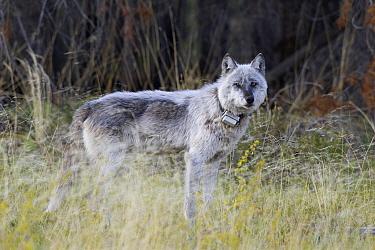 Gray Wolf (Canis lupus) with a radio collar, Alberta, Canada  -  Donald M. Jones
