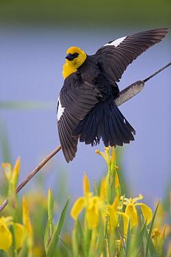 Yellow-headed Blackbird (Xanthocephalus xanthocephalus) male displaying atop a cattail, Montana  -  Donald M. Jones