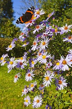 Red Admiral (Vanessa atalanta) butterfly on flower in garden, Germany  -  Duncan Usher
