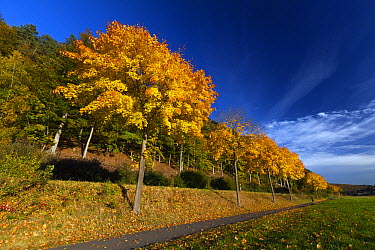 Norway Maple (Acer platanoides) trees along road in autumn, Germany  -  Duncan Usher