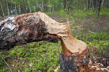 European Beaver (Castor fiber) bite marks on felled birch tree, Germany  -  Duncan Usher