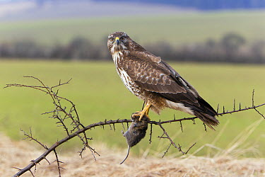 Common Buzzard (Buteo buteo) with vole prey, Germany  -  Duncan Usher