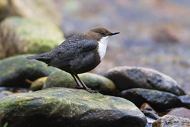 White-throated Dipper (Cinclus cinclus), Germany  -  Duncan Usher