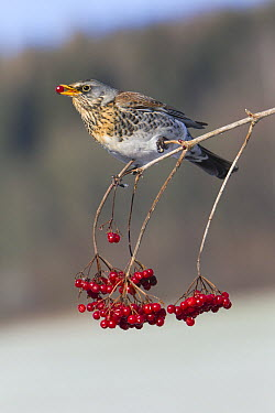 Fieldfare (Turdus pilaris) feeding on berries, Germany  -  Duncan Usher