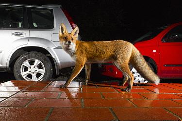 Red Fox (Vulpes vulpes) next to cars at night, Europe  -  Duncan Usher