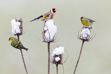 European Goldfinch (Carduelis carduelis) and Eurasian Siskin (Carduelis spinus) feeding on teasel thistle seeds in winter, Germany  -  Duncan Usher