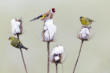 European Goldfinch (Carduelis carduelis) and Eurasian Siskin (Carduelis spinus) feeding on teasel thistle seeds in winter, Germany  -  Duncan Usher