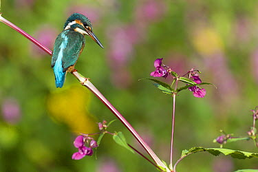Common Kingfisher (Alcedo atthis) on Himalayan Balsam (Impatiens glandulifera), Germany  -  Duncan Usher