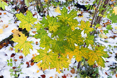 Norway Maple (Acer platanoides) fall colored leaves, Germany  -  Duncan Usher