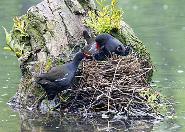 Common Moorhen (Gallinula chloropus) pair at nest tending to chicks, Germany  -  Duncan Usher