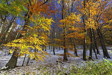 European Beech (Fagus sylvatica) forest in autumn with freshly fallen snow, Hessen, Germany  -  Duncan Usher
