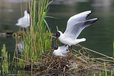 Black-headed Gull (Chroicocephalus ridibundus) pair mating on nest, Germany  -  Duncan Usher