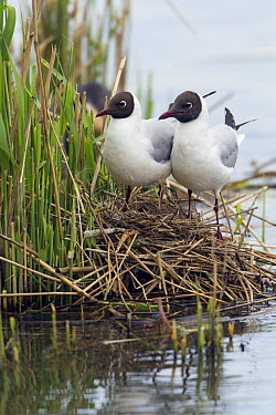 Black-headed Gull (Chroicocephalus ridibundus) pair on nest, Germany  -  Duncan Usher