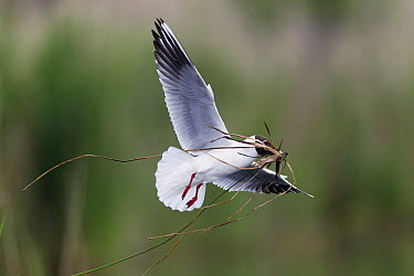 Black-headed Gull (Chroicocephalus ridibundus) carrying nesting material, Germany  -  Duncan Usher