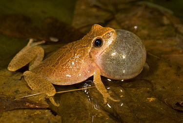 Spring Peeper (Pseudacris crucifer) singing, North America  -  Steve Gettle