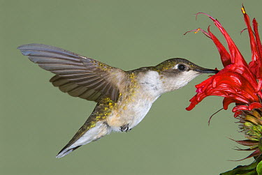 Ruby-throated Hummingbird (Archilochus colubris) feeding on flower, North America  -  Steve Gettle