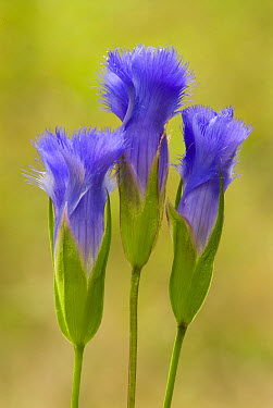 Greater Fringed Gentian (Gentianopsis crinita) flowers, North America  -  Steve Gettle