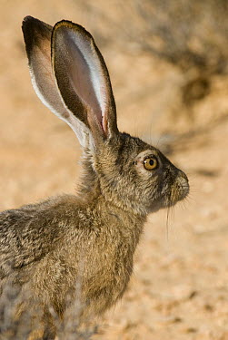 Black-tailed Jackrabbit (Lepus californicus), North America  -  Steve Gettle