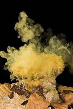 Skull-shaped Puffball (Calvatia craniiformis) releasing spores. Sequence 3 of 3  -  Steve Gettle
